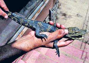 dwarf-crocodiles-2