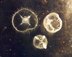jelly-fish-dr-ranathunga