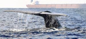 A whale diving closer to a ship off beaches of Mirissa   Pic Sanka Vidanagama