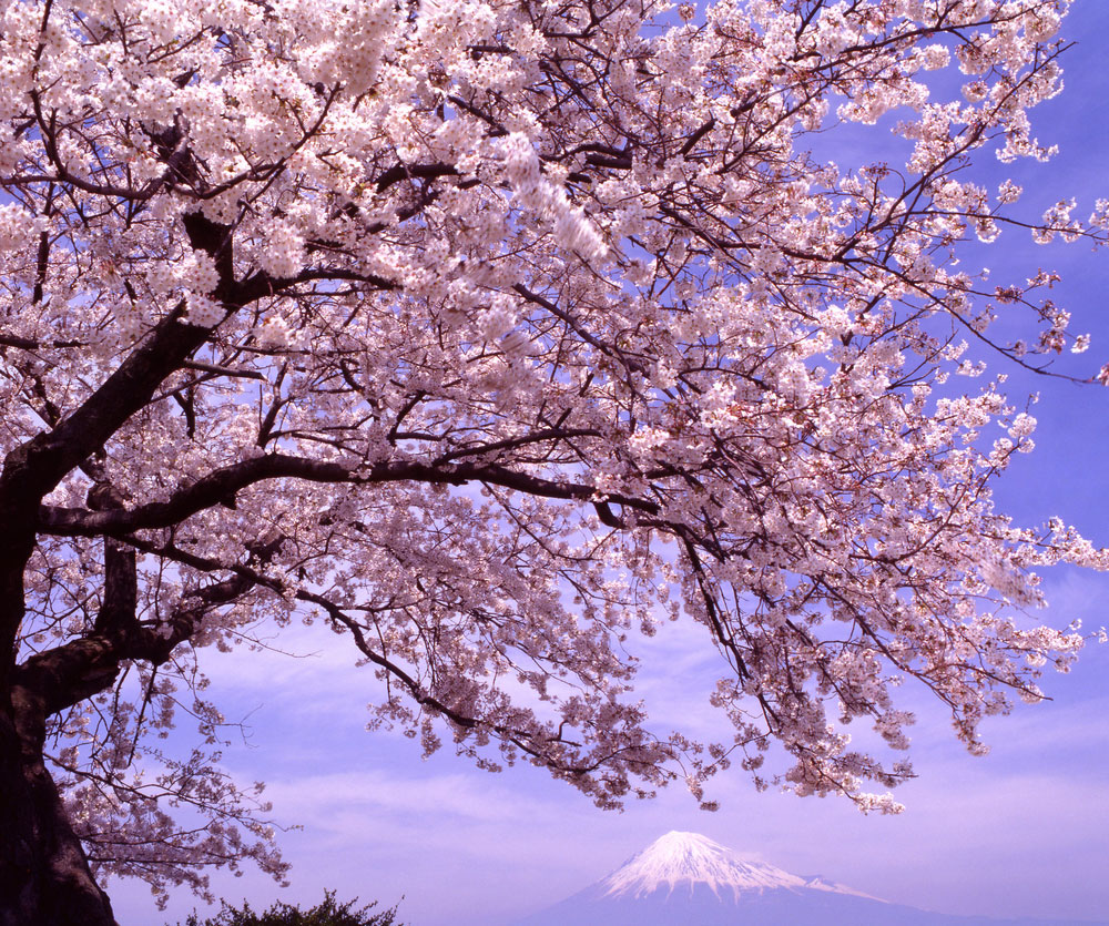 Sakura: Pretty blooms to take away the gloom  Window to Nature