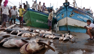 Sharks at the dock of Negombo fish market