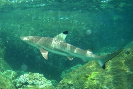 Black tip reef shark - an important member of Coral Island biodviersity (c) Gayan Wijethunga
