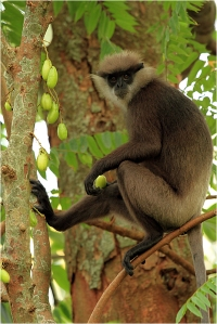 Western Purple-leaf Monkey