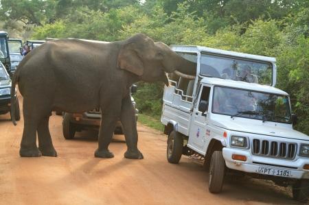 Gemunu searching Safari Jeeps (c) Riaz Cader