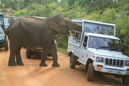 Gemunu searching Safari Jeeps (c) Riaz Cader
