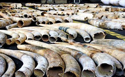 Tragedy: The 359 African elephant tusks concealed in a container on a ship sailing from Kenya to Dubai. Pic by Indika Handuwala