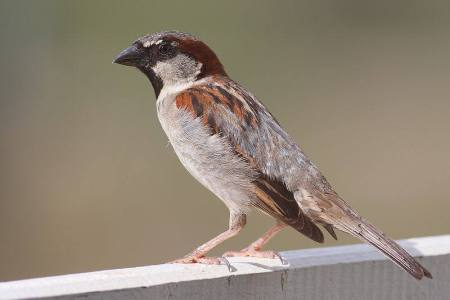 Male House Sparrow (c) Wikipedia