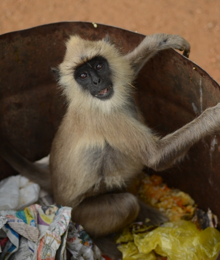 A Monkey in search of food at a Garbage Dump