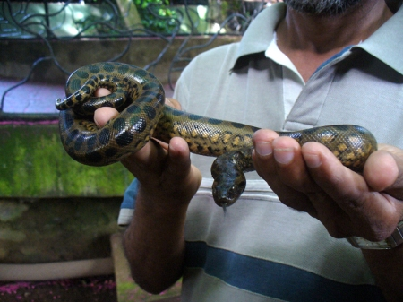 Anaconda babies