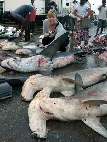 Hammerheads sharks caught at Negombo -  Malaka Rodrigo