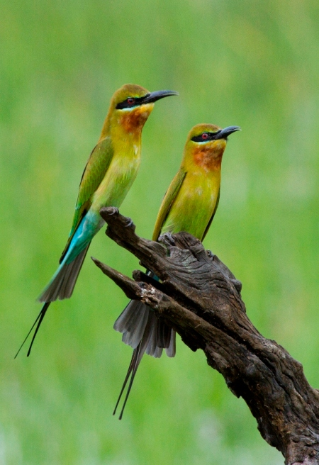 Blue-tailed Bee-eater (c) Rajiv Welikala - Copy