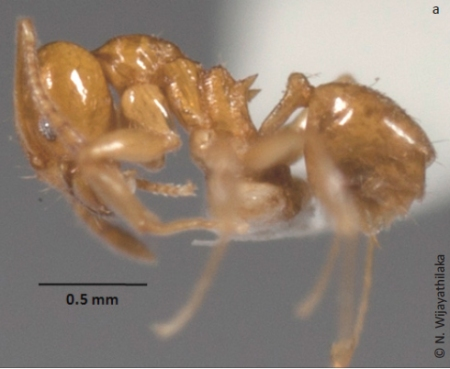 Sri Lanka Relict Ant - A worker (c) N.Wijayathilaka
