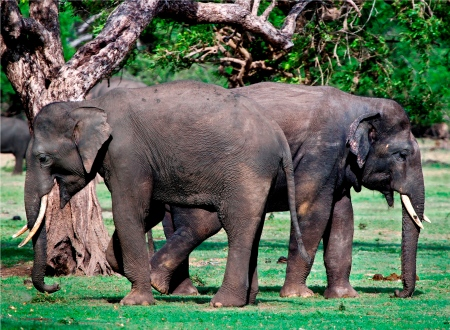 Back to back - the young tuskers of Kalawewa herd