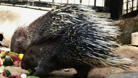 Porcupines in Dehiwala Zoo (c) Malaka Rodrigo