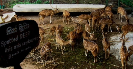 Spotted Deer with board in Dehiwala Zoo (c) Malaka Rodrigo