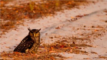 Ulama - the Devil Bird or Forest Eagle Owl from Wilpattu