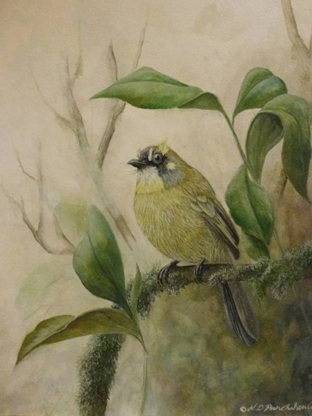 Drawing - Yellow-eared Bulbul