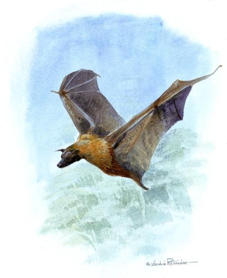 A species of Bat - a Flying Mammal