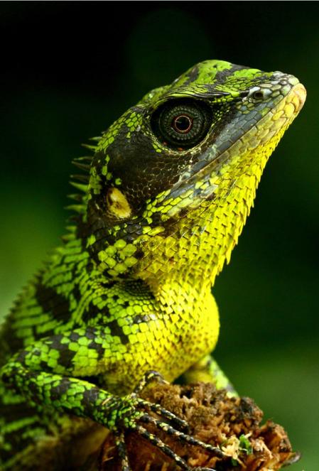 Pethiyagoda's Crestless Lizard – Calotes pethiyagodai
