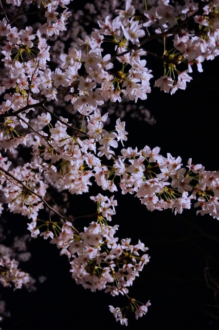 Sakura bloom at Kumamoto Castle (c) Chunli Yang 2014
