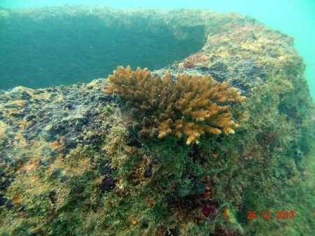 An Acropora coral about 6 inches regrowing on Artificial Concrete Coral Structure (c) Arjan Rajasuriya
