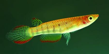 Aplocheilus werneri F Hiyaare