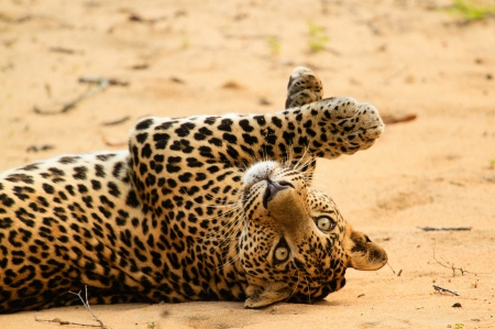 Time to frolic: A leopard on the white sands of Wilpattu