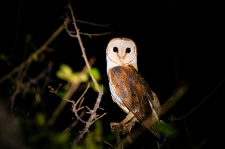 A beauty of the night: A Barn Owl captured at Arugam Bay