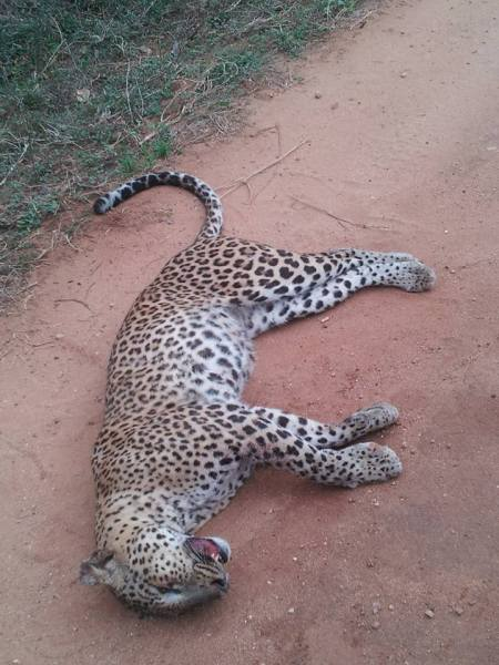 The female leopard killed by Hit and Run vehicle inside Yala National Park
