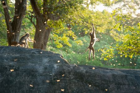 Description: Two monkeys catch some termites during the monsoon
