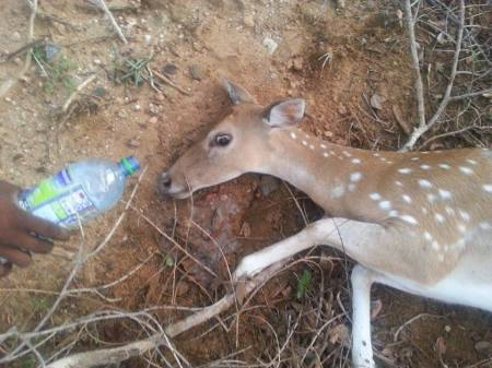Last drop of water - trying to quench thirst of dying deer hit on Kirinda - Palatupana - Yala road on 21st of Aug