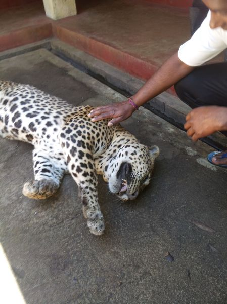 A male leopard was found dead in Nuwara Eliya, having fallen prey to a wire trap. (c) Kasun Pradeepa
