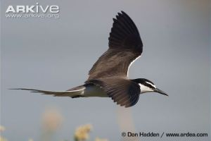 Bridled-tern-in-flight (c) Don Hadden