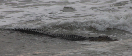 The Croc off Dehiwala on 21st sept (c) Adrian Meedeniya