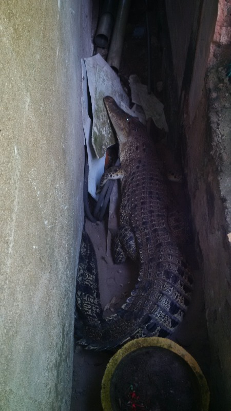Guess who came to the garden? A 7.2-foot saltwater crocodile