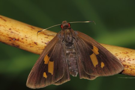 Female of Banana Skipper