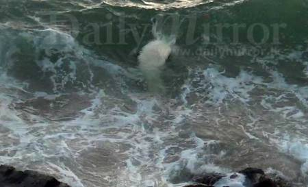 Dead body of Colombo Croc carried away by the waves (c) DM