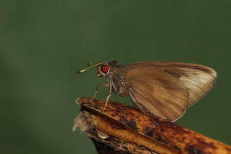 Male of Banana Skipper