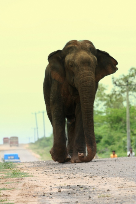 Elephant on Mattala Road - a frequent encounter (c) Dr.Prithiviraj Fernando