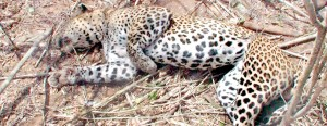 Leopards are often fallen victims of snares setup for wildboar
