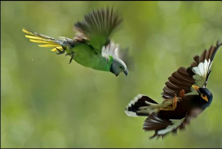 Endemic layards parakeet fighting an intruding Mynah
