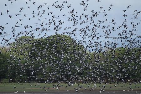 Large flock of Open Bill Storks at Kalawewa (c) Rajiv Welikala