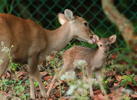 Mother hog deer takes care of its new born baby