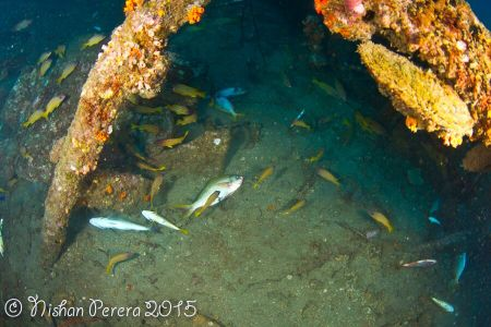 1 The underwater crime scene - fish died on ship wreck with other dying fish (c) Nishan Perera