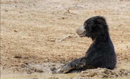 Seated bear in Yala