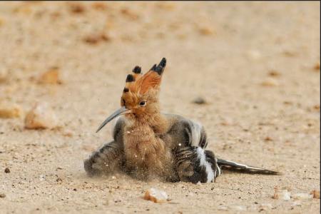 Eurasian Hopooe - You can sense the puff of dust as it dust bathes