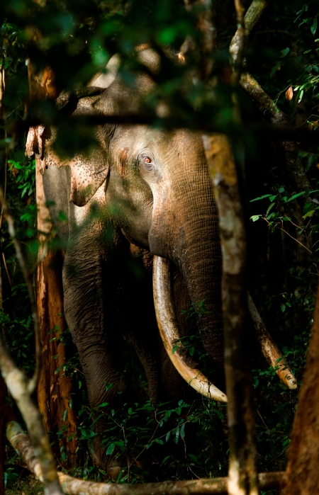 HI RES - Megha - An elusive Wilpattu Tusker - Rajiv's favorite Tusker photo