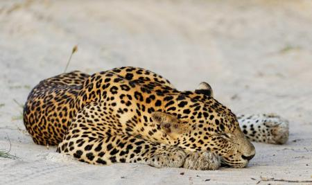 Sleeping leopard on white sand