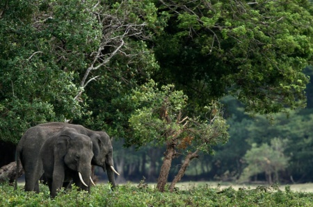Young tuskers (c) Rajiv Welikala