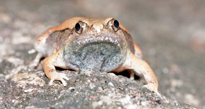 The Mihintale narrow-mouthed frog and below, the tadpole of this frog